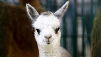 Minsk Zoo welcomes its newest addition: baby llama